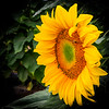 ME-WELLS-SUNFLOWER