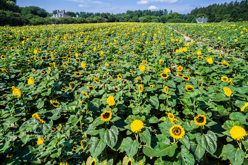 Massachusetts-Wenham-Sunflower farm