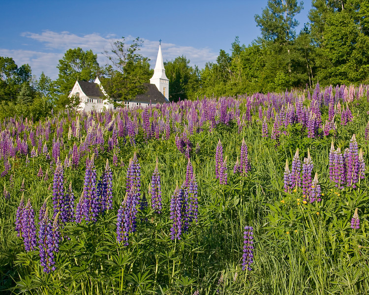 NH-SUGAR HILL-LUPINE