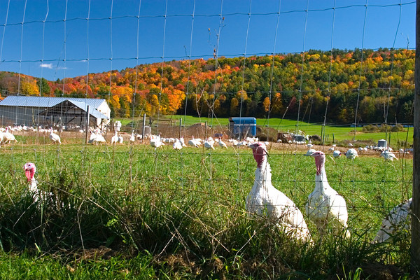 Turkeys on a Turkey Farm