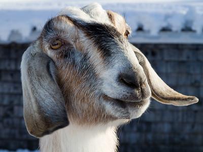 Goat, Capra aegagrus hircus, at the Remick Farm Museum, Tamworth, New Hampshire