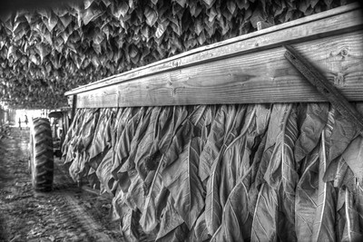 Tobacco Fields 2014 HDR