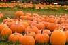 Pumpkins After The Fall Harvest