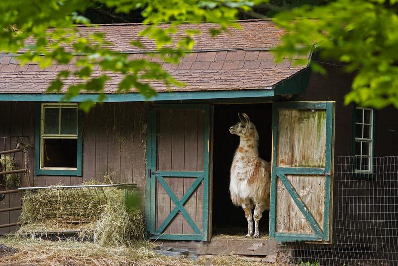 two-l llama in barn