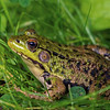 portrait of frog in grass