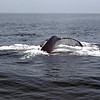 2007 Whale Watch - my first whale tail
