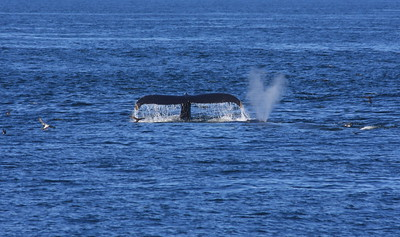 Whales, Rye NH