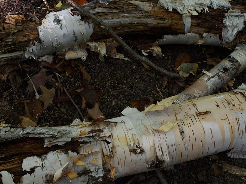 Fallen birch