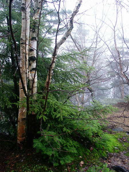 Mountain birch in the mist