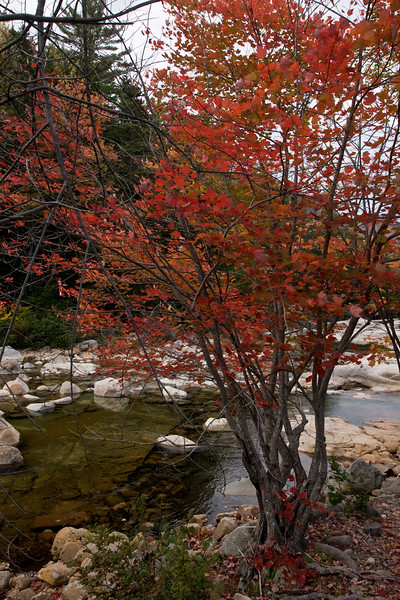 Maple by the Swift river