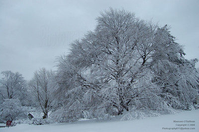 Snowy Trees, Winter 2008, Massachusetts