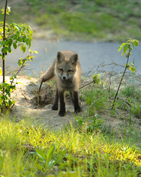 Young Fox Pup2 in Peterborough, NH