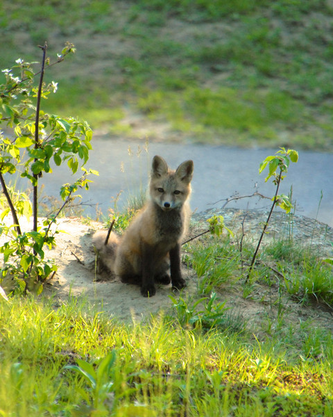 Young Fox Pup1 in Peterborough, NH