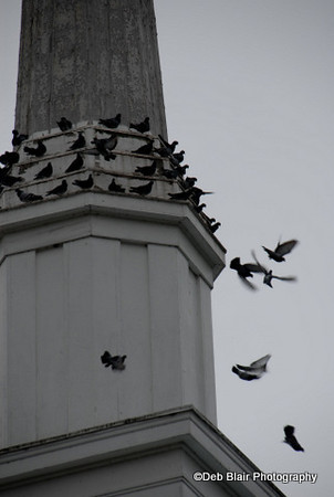 Pigeons on steeple in MA