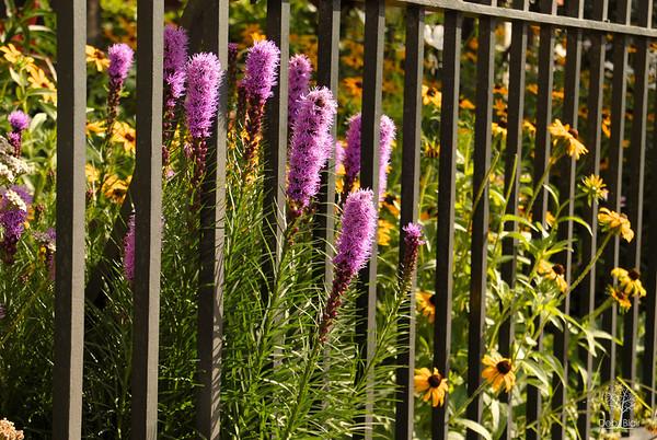Flowers through iron fence
