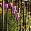Flowers through iron fence