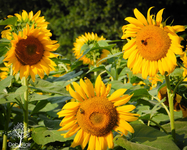 Sunflowers at Buttonwood Farm in Griswold, CT 2013