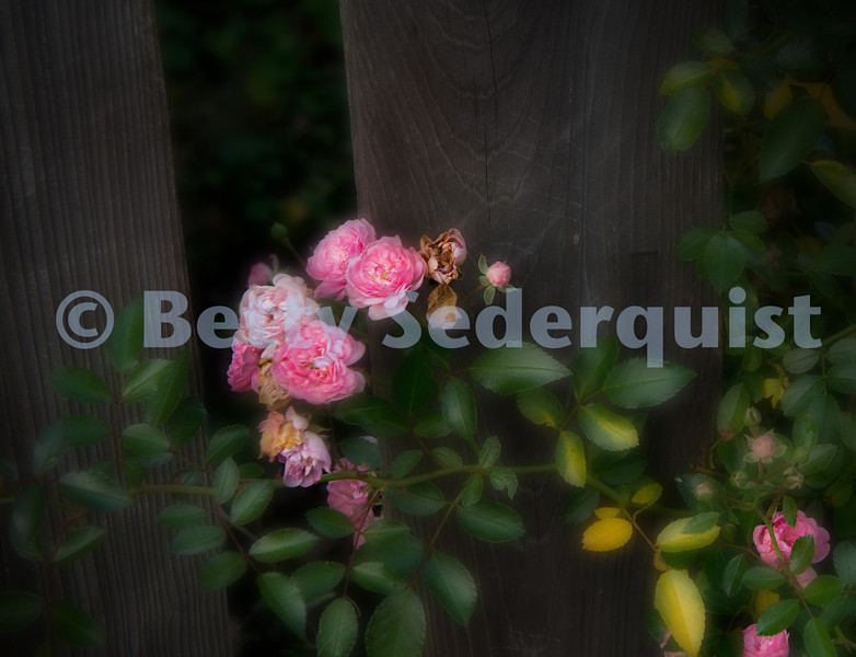 Old Fashioned Autumn Rose