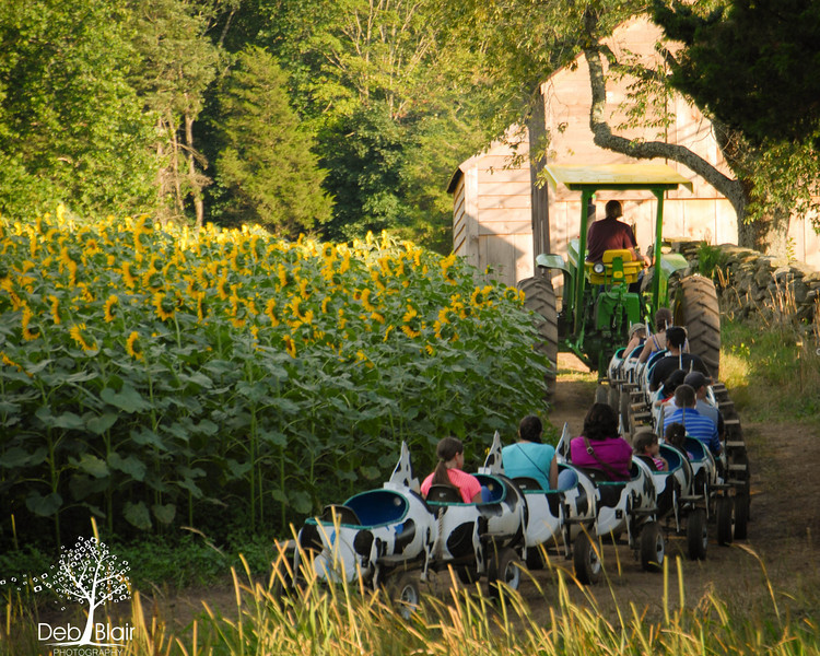 Ride through field of sunflowers at Buttonwood Farm in Griswold, CT 2013