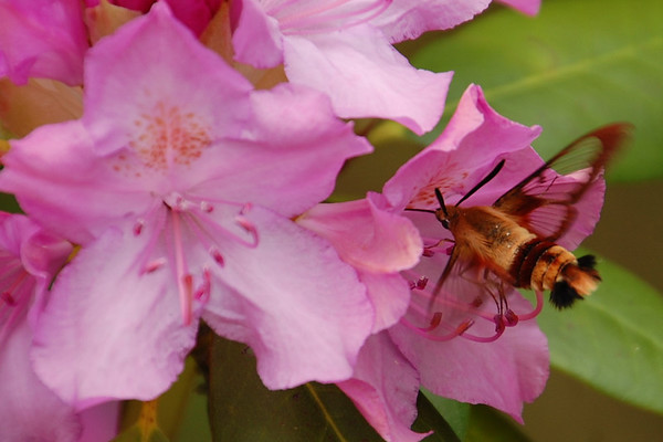 Hummingbird Moth2