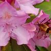 Hummingbird Moth2