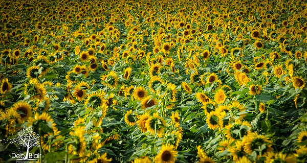 Field of Sunflowers1 at Buttonwood Farm in Griswold, CT 2013