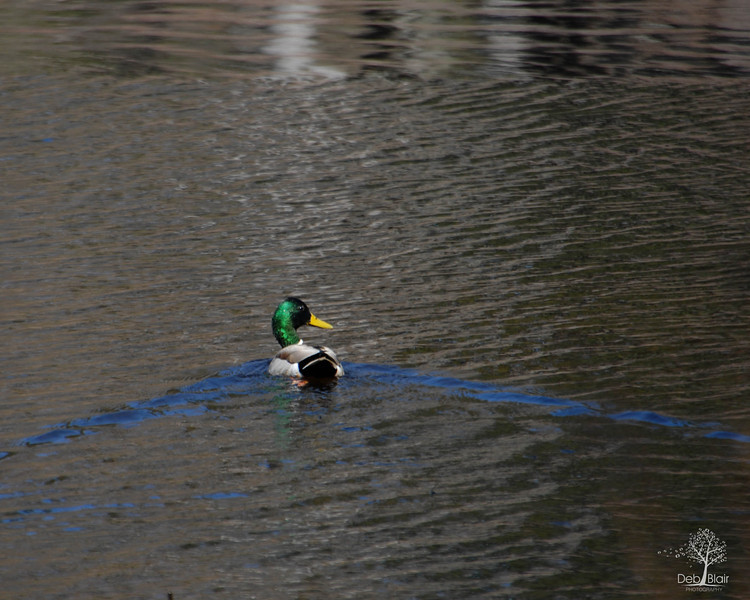 Duck motoring along the water