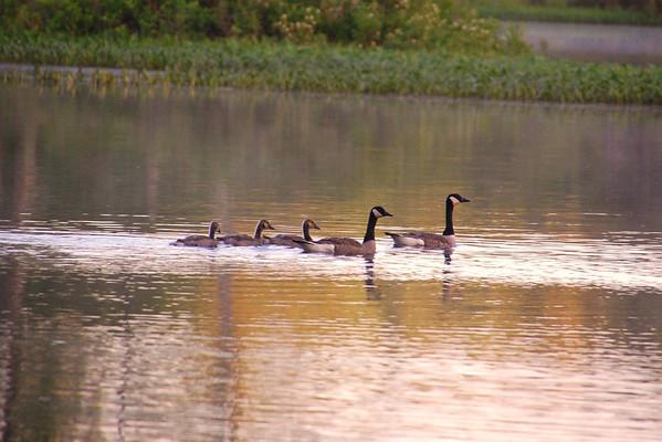 Swimming Geese - Hancock, NH