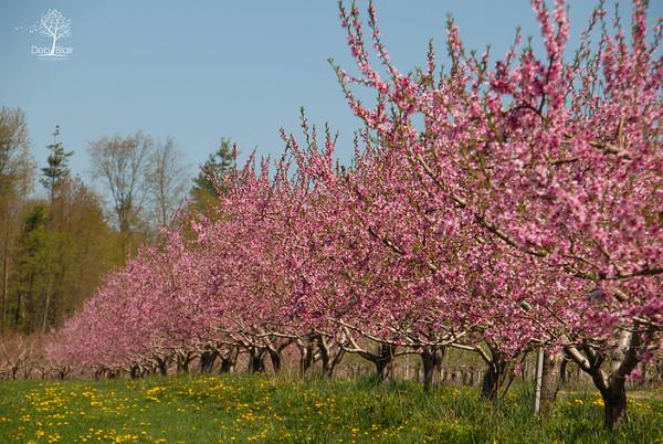Allison's Orchard, Walpole, NH - 2