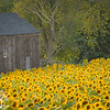 Field of Sunflowers4 at Buttonwood Farm in Griswold, CT 2013