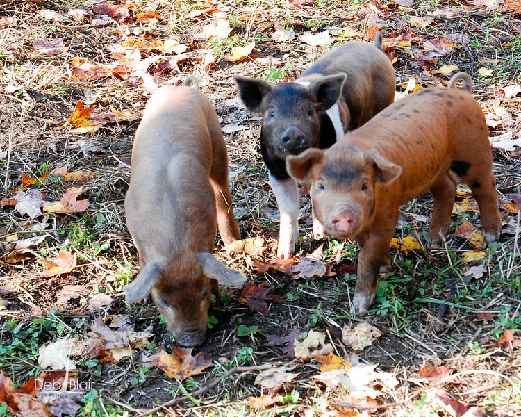 The 3 little pigs at a farm in Wilton, NH