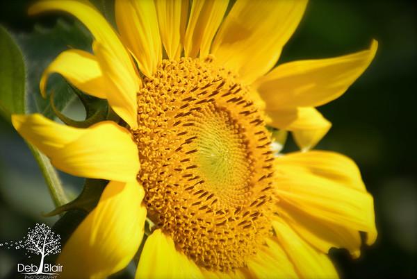 Bright Yellow Sunflower 2013
