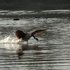Goose running on water - Powdermill Pond, Hancock, NH
