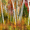 Vermont Birches Painting