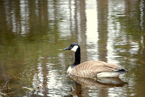 Goose swimming
