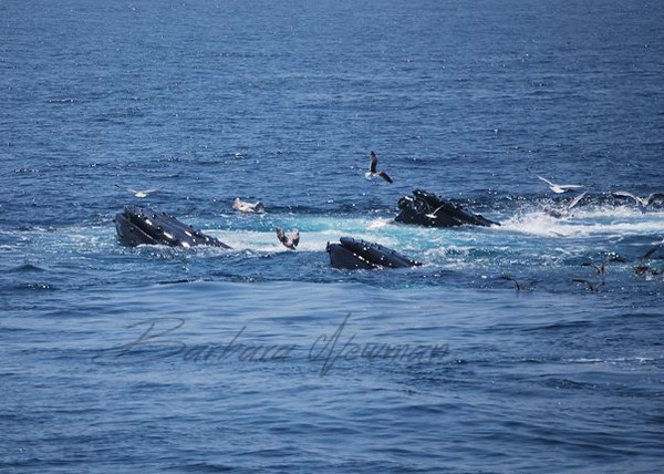 Family of Humpback whales watching the tourists