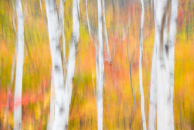 Birch abstract