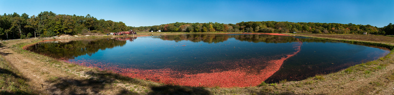 Cranberry harvest, Falmouth, MA