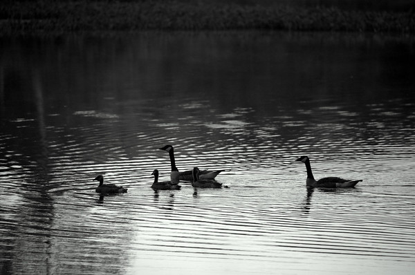 Geese swimming - black and white
