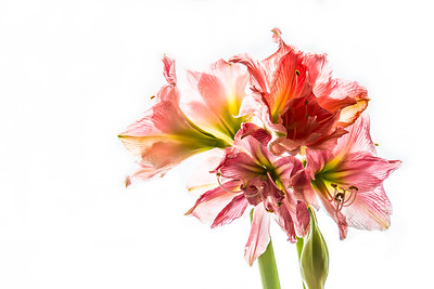 Amaryllis - North Pomfret