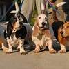 Basset Hounds in Peterborough, NH