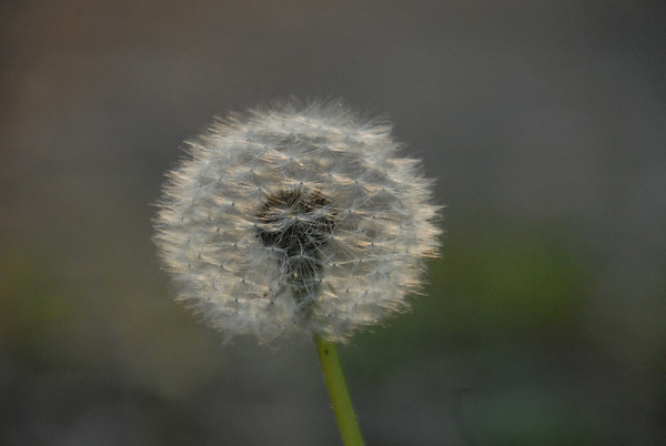 dandelion puff ball
