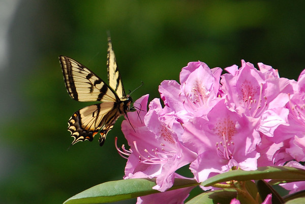 Butterfly on Rhododendron 1