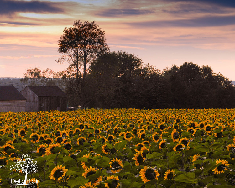 Field of Sunflowers5 at Buttonwood Farm in Griswold, CT 2013 at dusk