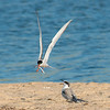 A common tern bringing a sanderling back to its chick