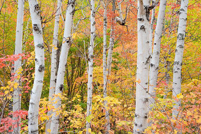 Birch in Fall