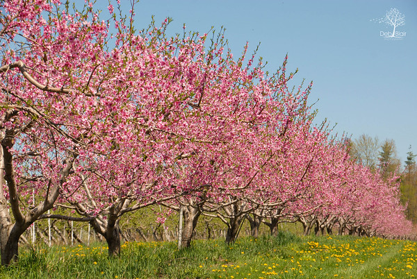 Allison's Orchard, Walpole, NH - 1