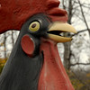 Rooster in Dalton, MA