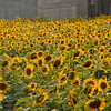 Field of Sunflowers2 at Buttonwood Farm in Griswold, CT 2013