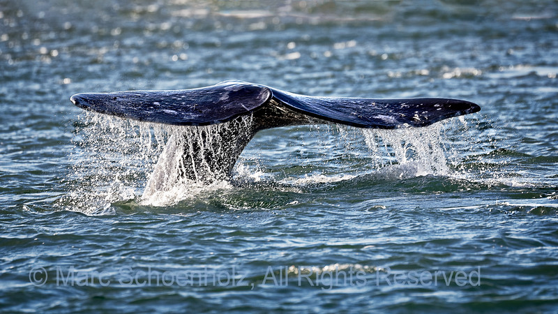 Grey Whale Tail Fluke.
